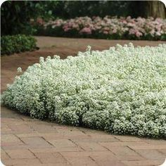 Sweet white Alyssum - Itsy Bitsy Wicked White by Live Mulch - Groovy Ground Covers by Seed really like this ground cover