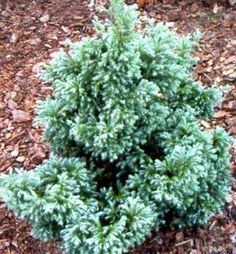 Cypruštek hrachonosný / Chamaecyparis pisifera ´BOULEVARD´ Plants, Planters, Plant, Planting
