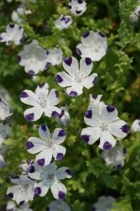 Nemophila maculata Seeds from Chiltern Seeds Seed Catalogs, Little Plants, Types Of Soil, Compost, Gardening Tips, Seeds, Bloom, Flowers, Composters