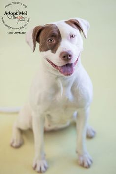 URGENT - Manhattan Center    ZIRA - A0986330  *** RETURNED ON 1/18/14 *** SAFER: EXPERIENCED HOME ***   FEMALE, WHITE / BROWN, PIT BULL MIX, 3 yrs  RETURN - EVALUATE, HOLD RELEASED Reason ALLERGIES   Intake condition NONE Intake Date 01/18/2014, From OUT OF NYC, DueOut Date 01/18/2014 Previous thread: https://www.facebook.com/photo.php?fbid=719374298075452&set=a.748622911817257.1073742908.152876678058553&type=3&theater