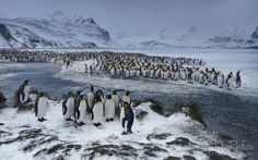 "Terra Penguinia - King Penguin (Aptenodytes patagonicus) Colony, Salisbury Plain, South Georgia, Sub-Antarctic. . . . There still some time to jump on board of Wild Photo Travel November 2015 <a href=""http://www.worldphototravels.com/South-Georgia-2015.php"">South Georgia Expedition</a>. For full expedition info click on link above and use built-in feature to get funny translation. Please contact me via email <a href=""mailto:photo@mikereyfman.com"" class=""linkified"">photo@mikereyfman.com</a…"