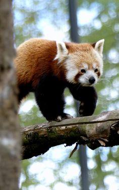 #panda #roux #zoodelille