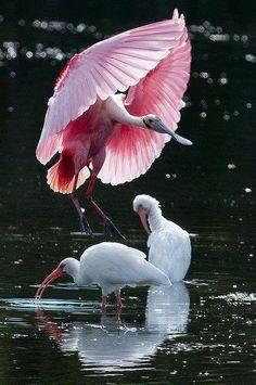 Espatula rosada e Ibis