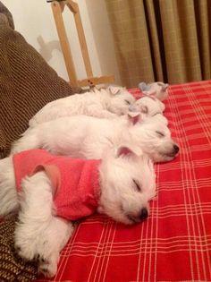 Sweet little sleeping westie puppies