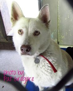 LUNA! PLEASE HELP! On March 28, someone tied a gorgeous, two-year-old Siberian husky mix to the gate outside of the Los Angeles County Animal Care and Control facility in Baldwin Park, Calif., and walked away. information: Petharbor link here ID#A3964630 (626) 962-3577 Facebook thread here and here