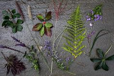 Clockwise from top right, Taylor's plant palette includes purple Aster oblongifolius 'Raydon's Favorite', Liriope muscari 'Big Blue', Helleborus niger, Nepeta fassenii 'Walker's Low,' Salvia nemorosa 'Caradonna', Japanese maple, Rhus aromatica 'Gro-Low', Pennisetum Orientale 'Karley Rose',  Pennisetum alopecuroides, Cornus Florida 'Cherokee Princess', Miscanthus sinensis 'Morning Light', and Dennstaedtia punctilobula (hay scented fern).