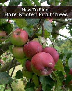 How To Plant Bare-Rooted Fruit Trees