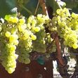 British wine writer and critic, Jancis Robinson, once noted that throughout the 80's and 90's in the United States, Chardonnay took its varietal qualities to the next level and 'virtually became a brand.'... http://www.snooth.com/varietal/chardonnay/