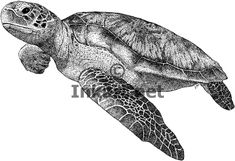 Green Sea Turtle (Chelonia mydas) Line Art and Full Color ...