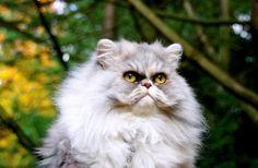 I am ye wise cat @yummypet #tamarah #persian