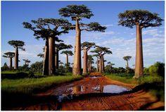 baobabs, Madagascar, Africa