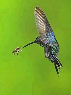 hummingbird and bee. The bee is actually chasing the hummingbird. Pretty Birds, Love Birds, Beautiful Birds, Animals Beautiful, Cute Animals, Tier Fotos, Mundo Animal, All Gods Creatures, Bird Watching