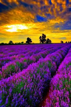 Lavender fields of France at sunset.✌️More Pins Like This At FOSTERGINGER @ Pinterest