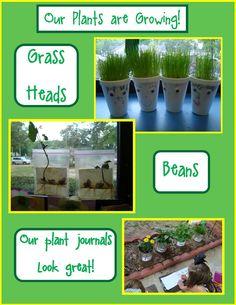 Golden Gang Kindergarten: Our Plants Are Growing!
