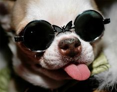Chihuahua Sunglasses Glossy Poster Picture Photo Dog Puppy Puppies Butterfly 718