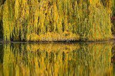 mirroring II von Bernd Hoyen #fotografie #photography #fotokunst #photoart #digitalart #kunst #art #abstrakt #abstract #baum #bäume #tree #trees #grün #green #gelb #yellow #see #seen #sea #seas #spiegelung #spiegelungen #reflection #reflections #wasserspiegelung #wasserspiegelungen #herbst #autumn #natur #nature #landschaft #landschaften #landscape #landscapes #deutschland #germany #berlin