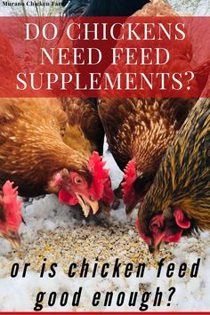 What Can Chickens Eat, Types Of Chickens, Cute Chickens, Raising Chickens, Chickens Backyard, Chicken Eating, Chicken Feed, Chicken Livers