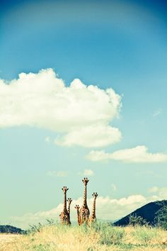 The clouds, the appearance of the giraffes