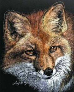 Coat of Red by Sandra Haynes Scratchboard ~ x Wildlife Paintings, Wildlife Art, Animal Paintings, Animal Sketches, Animal Drawings, Art Drawings, Fox Pictures, Pictures To Paint, Watercolor Animals