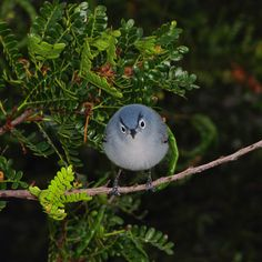 Telegraph reader Gerard Girling sent us this picture, writing: 'Angry Birds are all the rage at the moment - but I have never seen one so furious as this tiny female Blue-grey Gnatcatcher, (Poliopitila caerulea). At around 6.5g (0.23oz) she thought nothing of challenging me to a fight when I stumbled into her territory in Turks and Caicos. After I snapped the picture I made a tactical retreat and live to fight another day.' If you have a photograph you'd like us to consider for a picture…