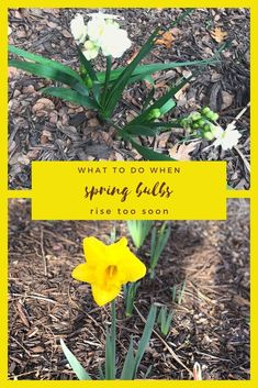 Sometimes spring-flowering bulbs are too anxious, rising and even flowering well before the arrival of spring. Find out what to do to save them. #springbulbs #flowers #blooms #spring #groundhog #superbowl #bulbs #gardening