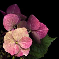 Hydrangea (Hortensias) - Photography by Magda Indigo Small Pink Flowers, Colorful Flowers, Beautiful Flowers, Hortensia Hydrangea, Hydrangea Flower, Hydrangeas, Chrysanthemums, Flowers Nature, Flower Photos