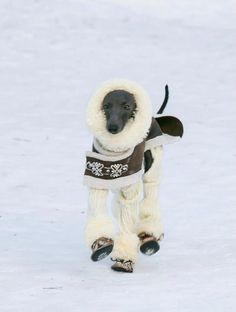 """My Italian Greyhound is """"freezing"""" when it dips below 70 degrees. This IGGY is amazing."""