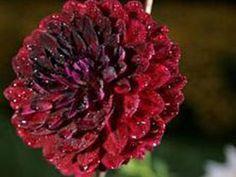 burgundy dahlia