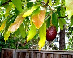 How to Plant an Avocado Tree -- Interesting