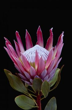 Not a tropical flower - it is a King protea - Protea Cynaroides - Fynbos from South Africa
