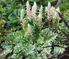 Luminous and vigorous, Acanthus 'Whitewater' (Bear's Breech) is a clump-forming perennial boasting a gorgeous variegated foliage of large, deeply cut, dark-green leaves adorned with creamy-white margins and splashes. In summer, the foliage mound is topped by erect flower stems bearing pink and cream, funnel-shaped flowers with hood-like purple bracts. Bear's Breech is easy to grow, requires very little care, lasts well in bouquets and makes striking dried arrangements. A bold and…