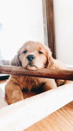 This adorable puppy golden retriever will brighten your day. Dogs are amazing companions. Cute Funny Animals, Cute Baby Animals, Animals And Pets, Animals Images, Smiling Animals, Nature Animals, Wild Animals, Animal Pictures, Cute Dogs And Puppies