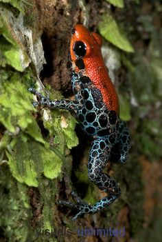 Reticulated Poison Dart Frog (Dendrobates reticulatus) on tree trunk, Iquitos, Peru