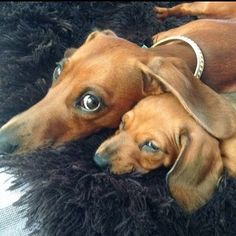 Dachshund and puppy - oh the cuteness of that ear!