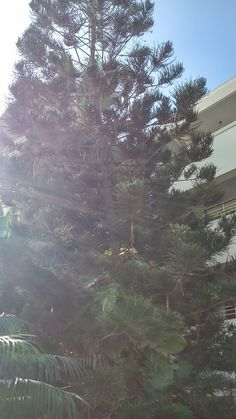 "The morning sun on the #Conifer at the entrance of @Beach_Luxury Hotel, #Karachi (please visit us at http://avari.com/property/beach-luxury & ""Like"" us on FB- https://www.facebook.com/beachluxuryhotel)"