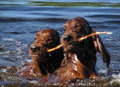 Hound Dog, Poodle, Irish, Puppies, Animals, Irish Setter Dogs, Irish Setter, Great Love, Cubs