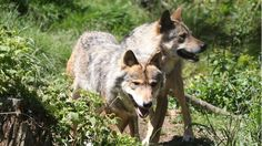A team of wolf-hunters is operating in a region of the French Alps to kill wolves that are seen as a threat to livestock.