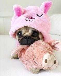 Pug cuteness