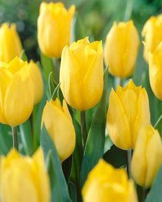 Tulipa triumph 'Strong Gold' Tulip from ADR Bulbs