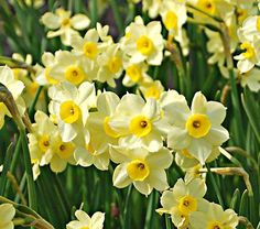 A fragrant Tazetta type with white petals surrounding small, buttercup yellow centers. The petals open light yellow and grow paler with age.