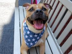 KENTA – A1079880.  MALE, TAN / WHITE, PIT BULL MIX, 3 yrs STRAY – STRAY WAIT, NO HOLD Reason STRAY Intake condition EXAM REQ Intake Date 07/03/2016, From NY 10468, DueOut Date 07/07/2016, I came in with Group/Litter #K16-064083