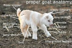 Funny pictures about Proper goat anatomy. Oh, and cool pics about Proper goat anatomy. Also, Proper goat anatomy. Baby Animals Pictures, Cute Baby Animals, Farm Animals, Funny Animals, Dwarf Goats, Cute Goats, Funny Goats, Baby Goats, Savanna Goats