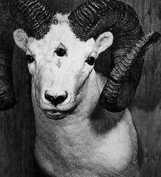 3 eyed mountain goat.