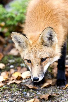 curious red fox | animal + wildlife photography
