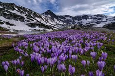 2015 National Geographic Photo Contest | National Geographic - Purple Flowers - Rila Mountain - Balkans Bulgaria - Nature - Earth