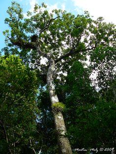 Flora Digital do Rio Grande do Sul e de Santa Catarina: Trichilia lepidota, No Rio Grande do Sul é encontrada na mata atlântica (Sobral et al. 2006) e na Bacia do Rio dos Sinos, até o município de Campo Bom.