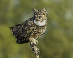 Tucúquere - Magellanic horned owl - Bubo magellanicus | by Gabriel Cartes