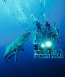 Go In a Shark Cage