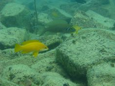Neolamprologus mustax and pulcher in situ| Flickr - Photo Sharing!