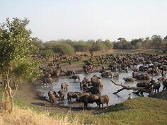Buffalo's taken between Skukuza and Lower Sabie, Kruger Nat. park, South Africa